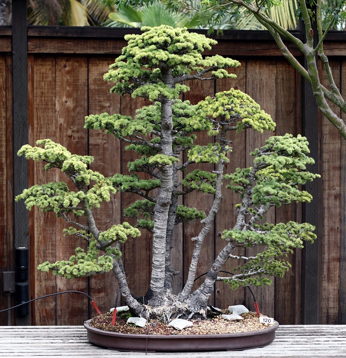 Bonsai from the Golden State Bonsai Federation Collection North in Oakland, California